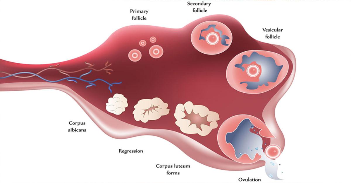 ovulatia simptome